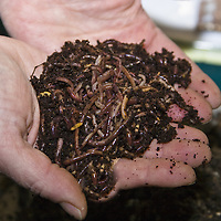 Red wiggler worms, used  in vermicomposting.
