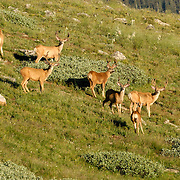 Buck Mule Deer in Velvet, Mount Goliath Natural Area, Colorado