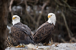 Two bald eagles (Haliaeetus leucocephalus) sit on the banks of the Chilkat River as it rains in the Alaska Chilkat Bald Eagle Preserve near Haines, Alaska. During late fall, bald eagles congregate along the Chilkat River to feed on salmon. This gathering of bald eagles in the Alaska Chilkat Bald Eagle Preserve is believed to be one of the largest gatherings of bald eagles in the world.