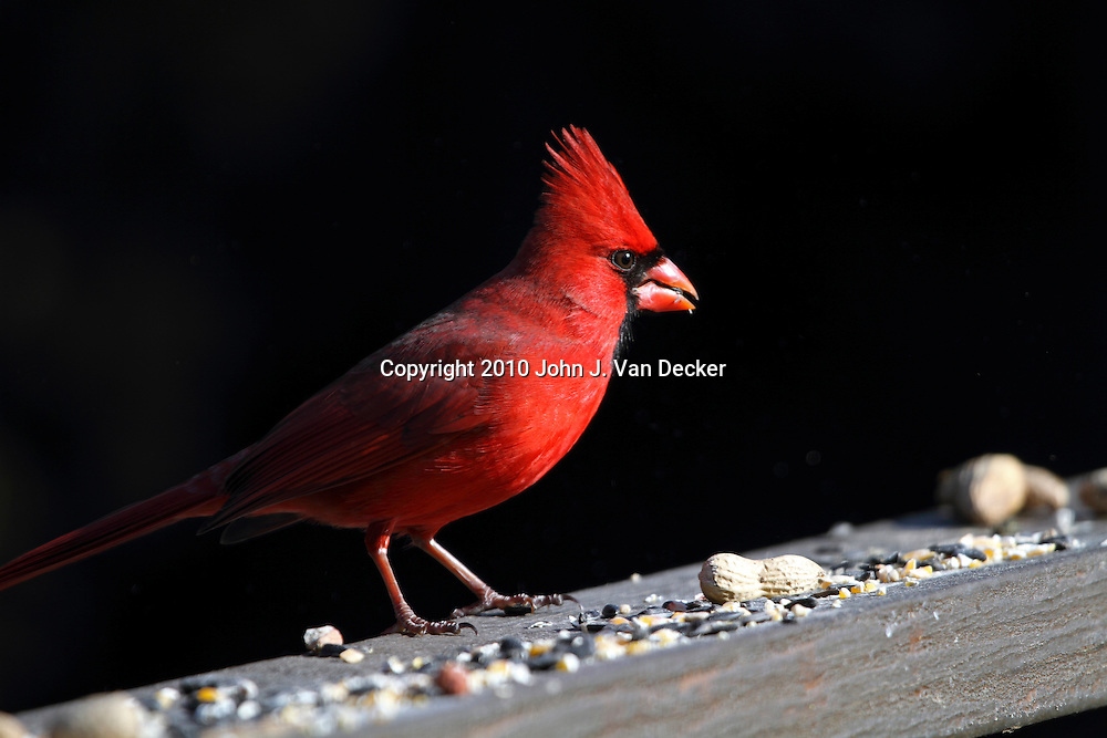 Northern Cardinal, Cardinalis cardinalis, male eating bird seed