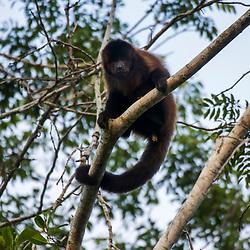 """""""Macaco-prego-de-crista (Sapajus robustus) fotografado em Linhares, Espírito Santo -  Sudeste do Brasil. Bioma Mata Atlântica. Registro feito em 2016.<br /> <br /> <br /> <br /> ENGLISH: Crested capuchin photographed  in Linhares, Espírito Santo - Southeast of Brazil. Atlantic Forest Biome. Picture made in 2016."""""""