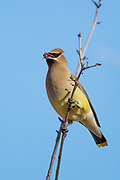 Stock photo of Cedar Waxwing captured Colorado.  Waxwings are found in open areas where berries are available.
