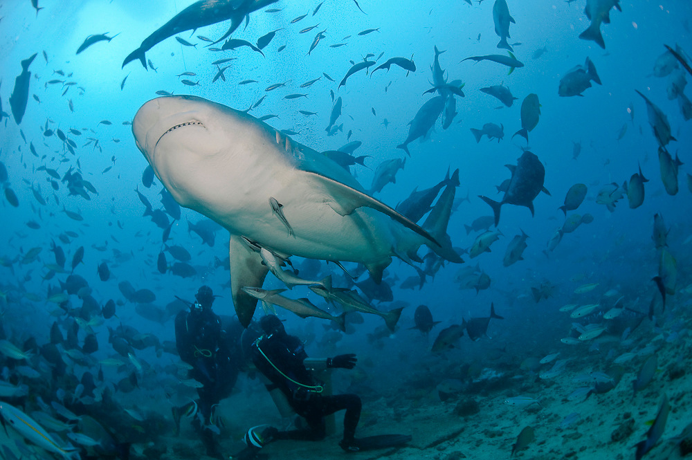 Scuba diver feeds a Bull Shark (Carcharhinus leucas) during a shark dive at the Shark Reef Marine Reserve offshore Pacific Harbor, Viti Levu, Fiji Islands.