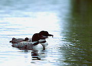 common loon family, with the  chick riding on back of one of its parents, while the other parent holds a crayfish in its beak to eventually feed to the chick,highland lake, maine. no property release