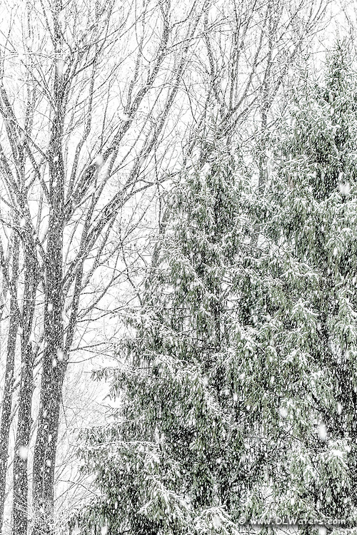 Snow falling on pine trees. I turned this photo B&W except for a hint of green in the pine trees.