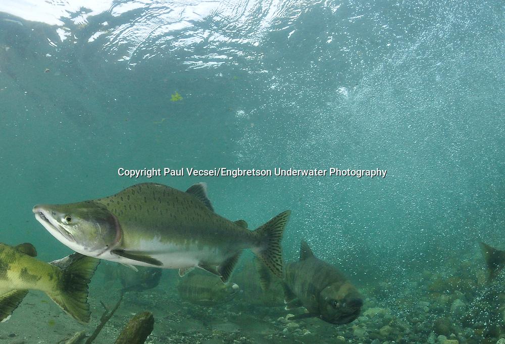 Pink Salmon<br /> <br /> Paul Vecsei/Engbretson Underwater Photography