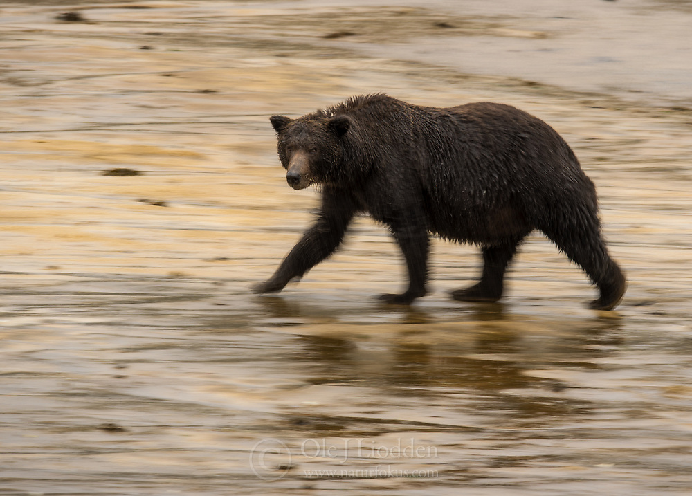 Grizzly bear (Ursus arctos) in Katmai, Alaska