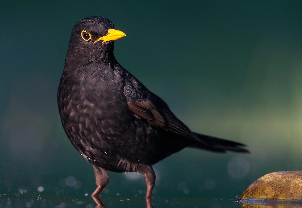 Blackbird  (Turdus merula) Pusztaszer Nature Reserve, Hungary