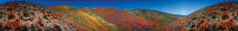 Poppies. 360 Degree view of hillsides ablaze with poppies.