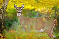 A deer walks through a Dalton Gardens, Idaho yard while foraging for food Thursday, Nov. 4, 2011.
