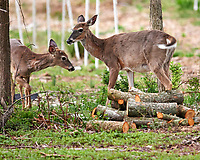 Wary Pair of Deer. Image taken with a Nikon D4 camera and 600 mm f/4 VR telephoto lens
