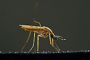 Malaria mosquito (Anopheles stephensi) is a primary mosquito vector for malaria. Bernhard Nocht Institute for Tropical Medicine; (BNI). Hamburg, Germany  | Malariamücke (Anopheles stephensi) Bernhard-Nocht-Institut für Tropenmedizin, Hamburg, Deutschland