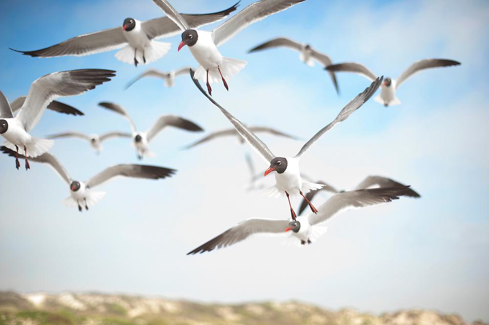 Flock of Seagulls in Flight at North Padre Island, Texas Coast