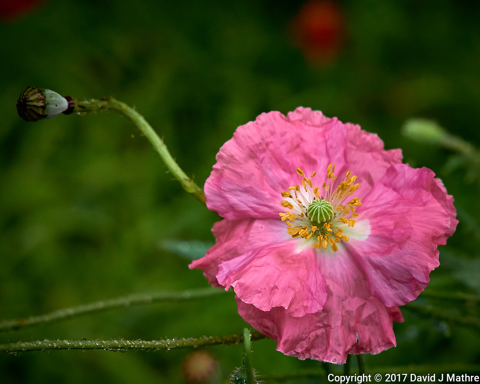 Pink poppy flower after the rain. Backyard summer nature in New Jersey. Image taken with a Leica T camera and 55-135 mm lens (ISO 320, 135 mm, f/5.6, 1/400 sec).