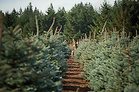 Tree Frog farm grows conifers to sell to nurseries from Silverton, Oregon.  They use all drip irrigation and individually fertilize each plant.
