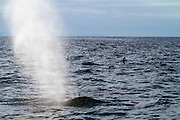 Spray from the blowhole of a humpback whale, Pacific Ocean