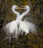 Birds Egrets