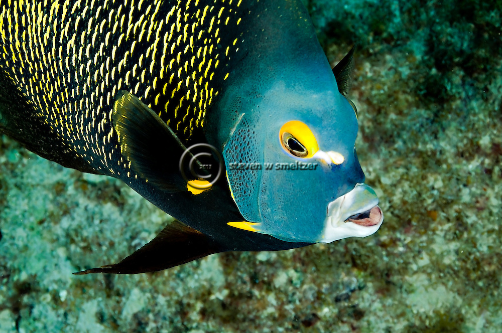 French Angelfish, Face of an Angel, Pomacanthus paru, (Bloch, 1787), Grand Cayman