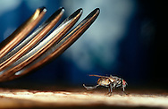 Deu, Deutschland: Stubenfliege (Musca domestica), sitzt unter einer Gable, saeubert ihre Beine, Cuxhaven, Niedersachsen | DEU, Germany: Housefly (Musca domestica), sitting under a fork cleaning it's legs, Cuxhaven, Lower Saxony |