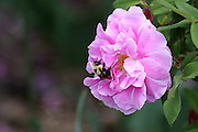 This Bumblebee is very busy foraging for any nectar or pollen that might be present on this Tree Rose.