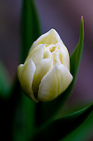 Delicate white tulip against soft purple background