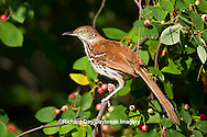 01403-00709 Brown Thrasher (Toxostoma rufum) in Serviceberry Bush (Amelanchier canadensis), Marion Co., IL