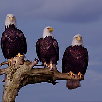 Three bald eagles perched on a snag in Homer, Akaska.