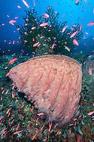 Anthias swarm a barrel sponge encrusted coral reef<br /> <br /> Shot in Indonesia
