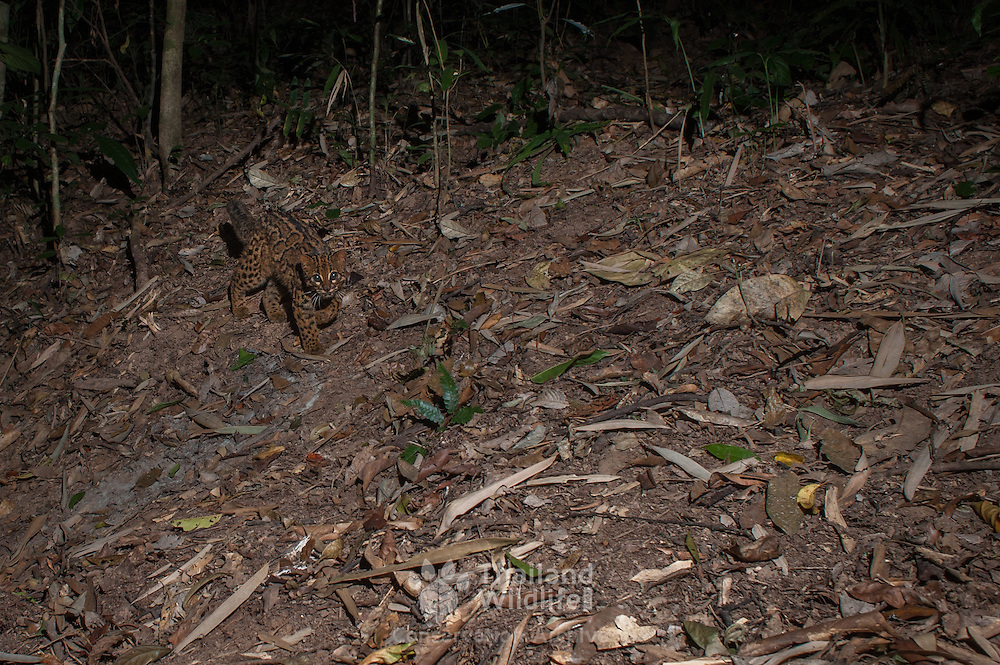 The marbled cat (Pardofelis marmorata) is a small wild cat of South and Southeast Asia.