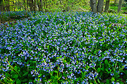 Carpet of Virginia bluebells Mertensia virginica<br /> Selkirk<br /> Ontario<br /> Canada