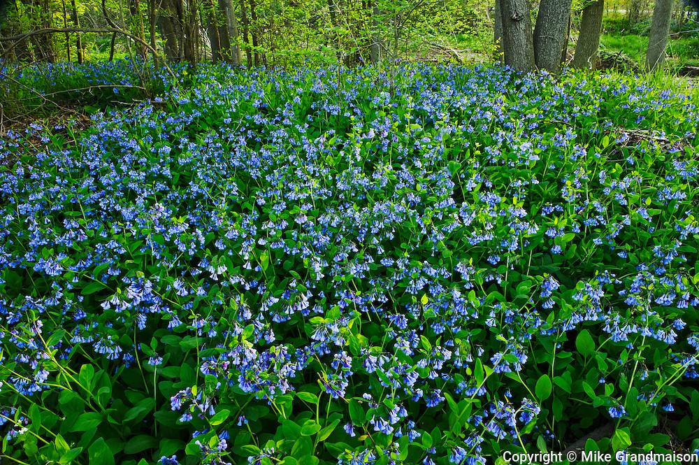 Carpet of Virginia bluebells Mertensia virginica<br /> Selkirk<br /> Ontario<br /> Canada
