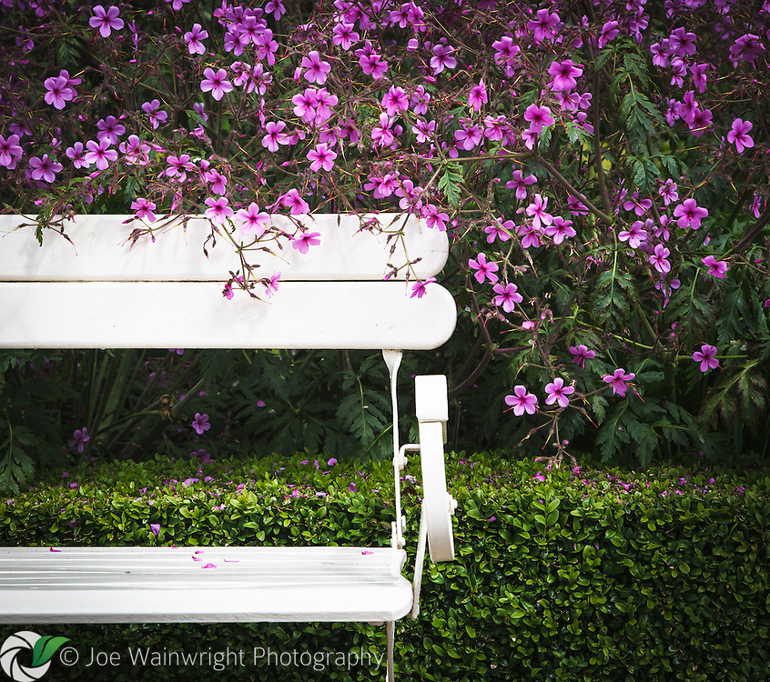 Geranium flowers spill over a white bench in the Tropical Garden at Abbeywood Gardens, Cheshire.