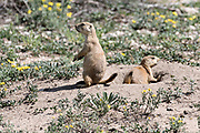 Black tailed prairie dogs on the lookout at the entrance to the colony burrow in the Rocky Mountain Arsenal National Wildlife Refuge in Commerce City, Colorado.