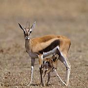 Thomson's Gazelle, (Gazella thomsonii) Newborn baby nursing. Masai Mara Game Reserve. Kenya. Africa.