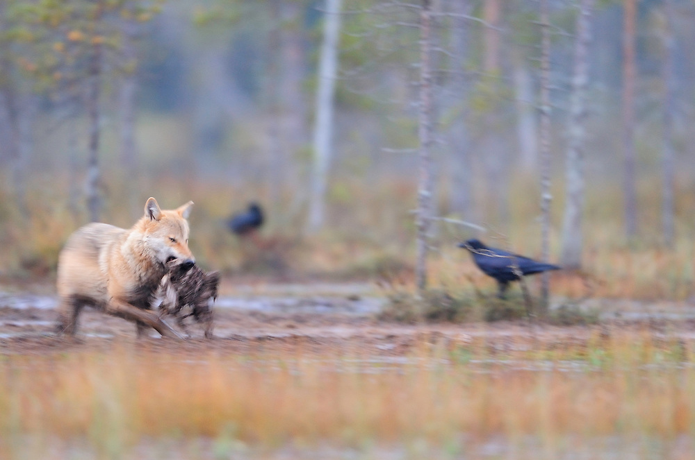 Eurasian wolf, Canis lupus and Raven, Corvus corax in Kuhmo, Finland.