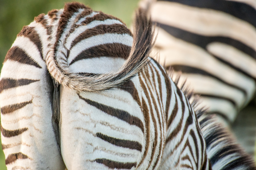 The backside of a zebra with its tail swishing in Hwange National Park. Hwange, Zimbabwe.