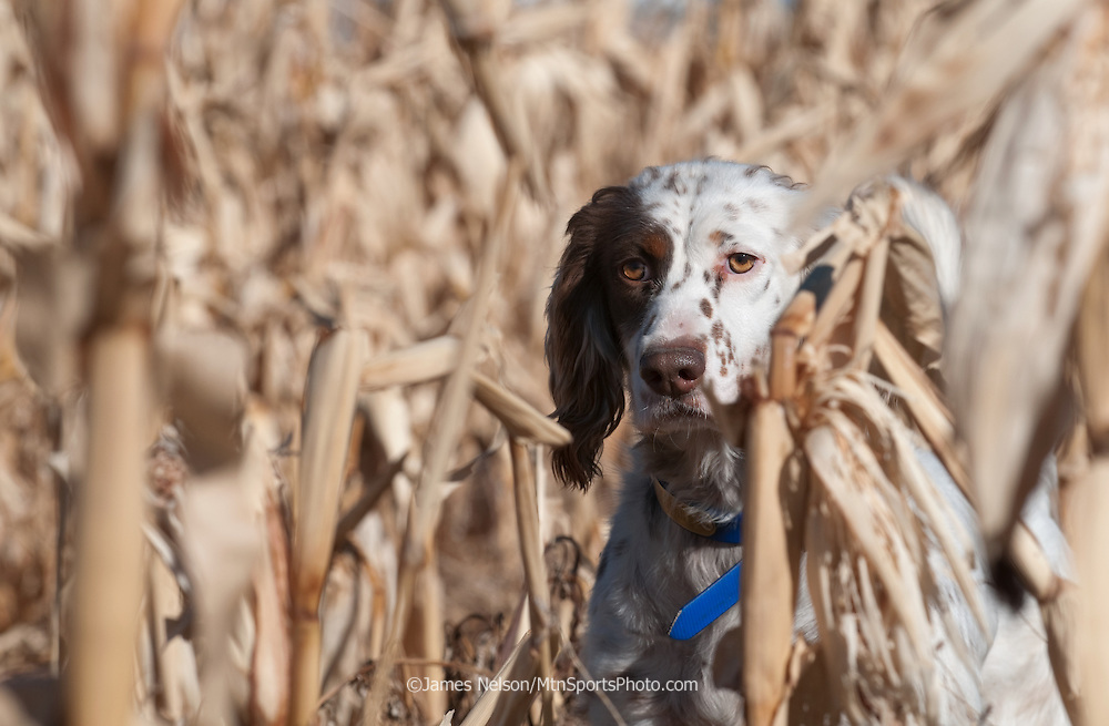 A female English setter on point in a corn field in east Idaho.