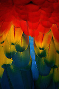 Scarlet macaw feather and pattern detail