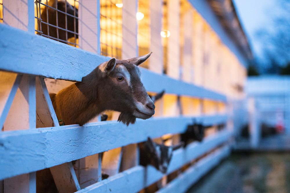 GABE GREEN/Press<br /> <br /> A goat pokes its head through a fence Tuesday at the Kootenai County Fairgrounds where about a dozen goats, along with 129 other animals, are being kept after being confiscated Friday from a residence near Athol.