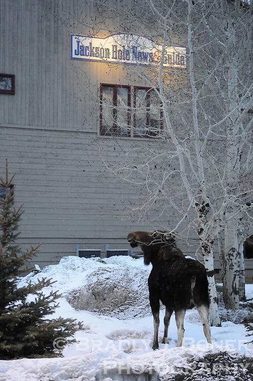 Moose and calf outside Jackson Hole News&Guide
