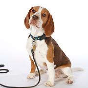20110425 Beagles