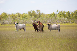 Cattle on Roebuck Plains, south of Broome.