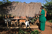 Elizabeth Nakanyike a Kulika trained farmer, feeding her UWESCO supplied goats with Cespania bush. She has constructed them a shelter to keep the sun and rain off.  She is a widow who's husband died of HIV / AIDS. She has to look after their 6 children and has 1 1/2 acres of farm.