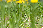 extreme close up of grass with dandelions in the background