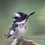 The crested kingfisher (Megaceryle lugubris) is a very large kingfisher that is native to parts of southern Asia, stretching eastwards from the Indian Subcontinent towards Japan. It forms a species complex with the other three Megaceryle species.
