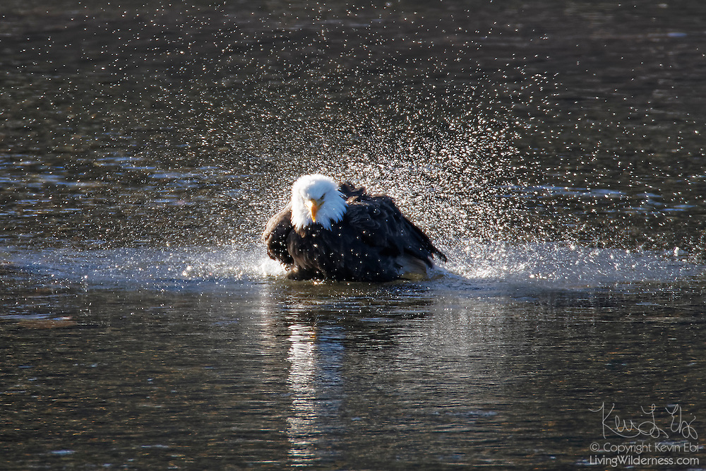 A bald eagle (Haliaeetus leucocephalus) bathes in the Squamish River near Brackendale, British Columbia, Canada. Hundreds of bald eagles winter in the Squamish River to feast on spawning salmon.