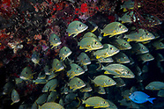 Snappers fish  (Lutjanidae)