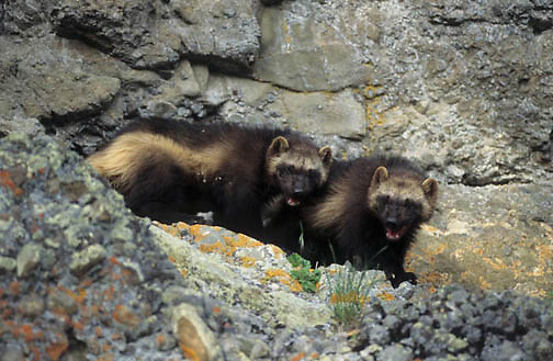 Wolverine, (Gulo gulo) Young kits. Rocky mountains. Montana. Spring. Captive Animal.