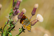 Dark green fritillary butterfly (Argynnis aglaja). on a Meadow thistle (Cirsium dissectum) Photographed on Elfer Mountain, Stubai Valley, Tyrol, Austria in September