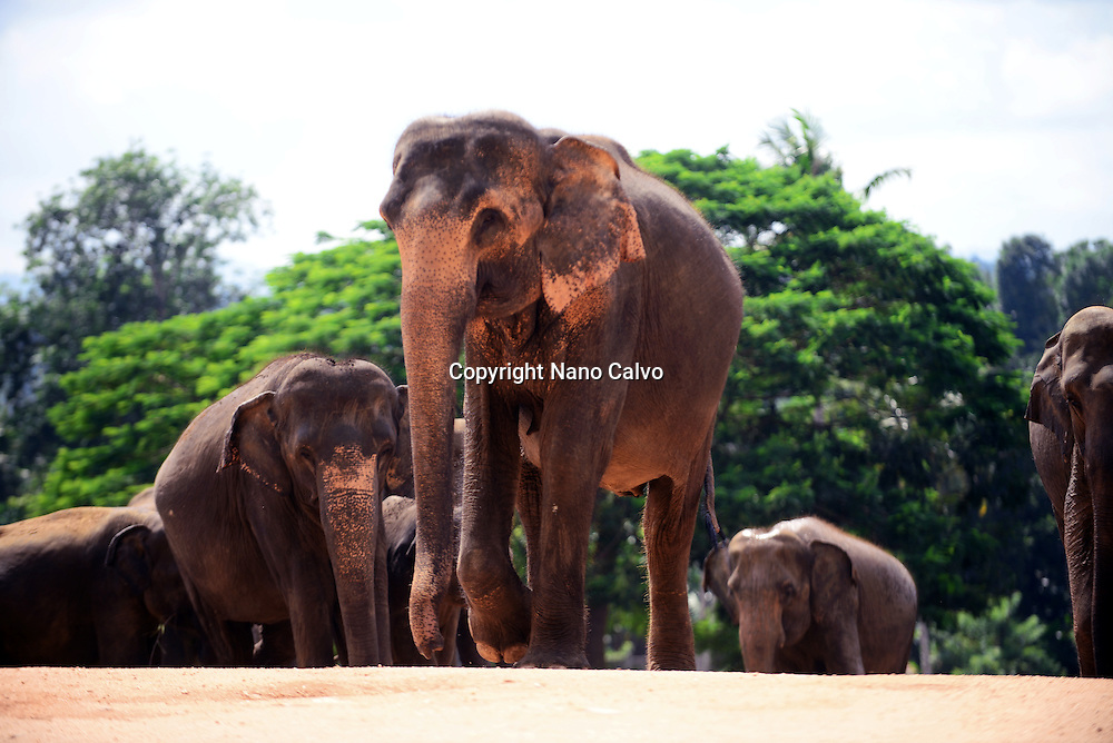 Pinnawala Elephant Orphanage in Sabaragamuwa Province of Sri Lanka. <br />